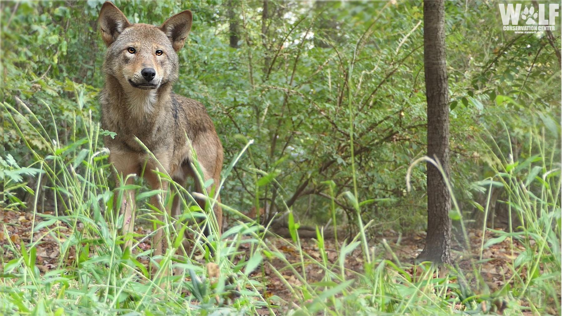 Red Wolf Deven