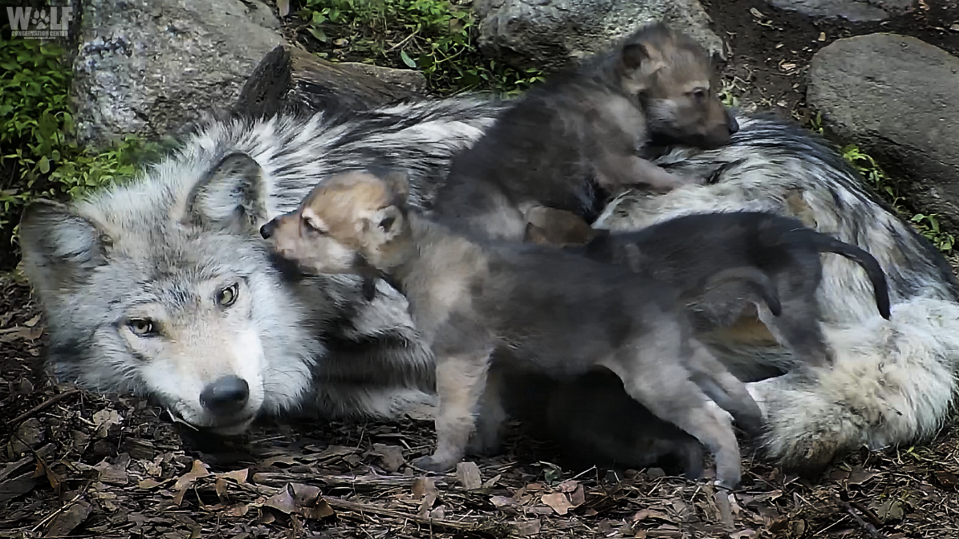 Mexican gray wolf family